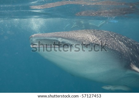 Giant Whale Shark http://www.shutterstock.com/pic-57127453/stock-photo-a-giant-whale-shark.html