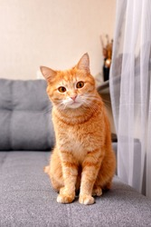 A ginger cat sits on a gray sofa and looks attentively at the camera