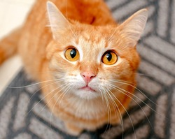 A ginger cat with huge round eyes looks attentively and warily. Focus on the cat's nose