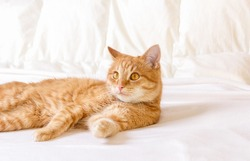 A ginger house cat is resting in an apartment on a white blanket. Close-up portrait