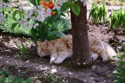 A ginger kitten is resting in the shade of a blooming cherry tree in early spring. A tulip is blooming nearby. The grass is green all around. Feeling of calm and peace