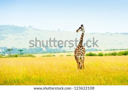 A giraffe, Africa, Kenya
