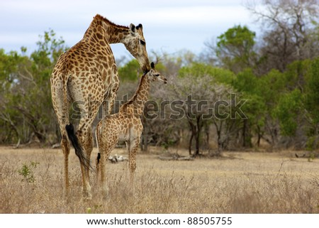 A Giraffe and her young, Kruger National Park