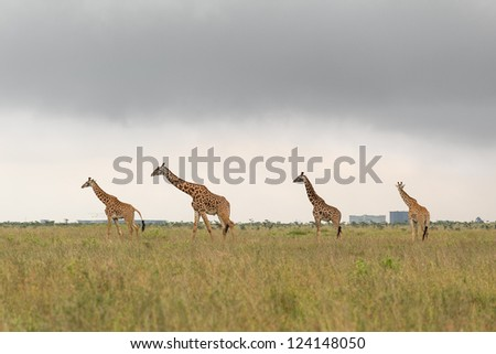 A giraffe family roaming freely at the Nairobi National Park in Kenya