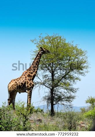 A giraffe from Kruger Park
