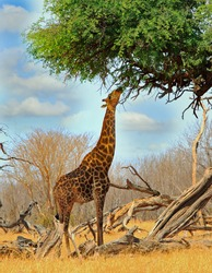 A Giraffe (Giraffa camelopardalis) feeding on an Acacia Tree with blue cloudy sky background in Hwange National Park, Zimbabwe, Southern Africa