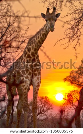 A Giraffe (Giraffa Camelopardalis) Peers through the African bush with the sun setting in the background #1350035375