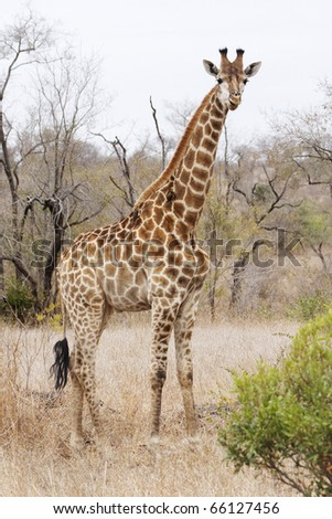 A giraffe, giraffa camelopardalis, with oxpecker on neck standing alert in dry bushveld.