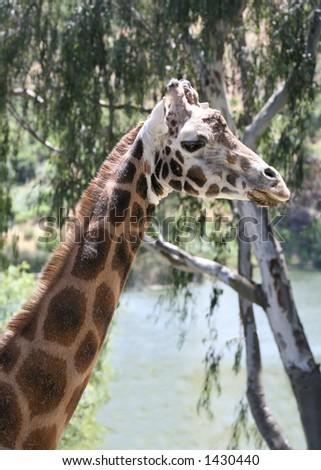A giraffe in the wild #1430440
