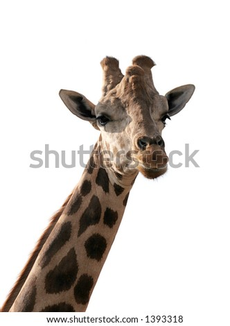 A giraffe, isolated on white.