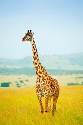 A giraffe, Kenya, Africa