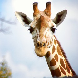 A giraffe looking and listening.