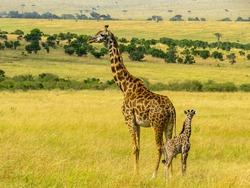 A Giraffe Mother with her child in Masai Mara, Kenya