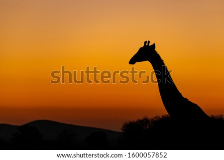 A Giraffe silhouetted against the early morning sunrise