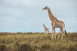 A giraffe standing in a grassy field with her child in Africa
