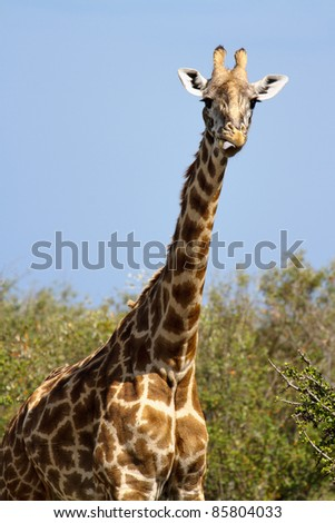 A giraffe sticks its tongue out