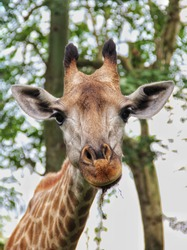 A giraffe still chewing its food. Giraffes are ruminants that eat plants and vegetables although the Acacia tree is one of their favorites.