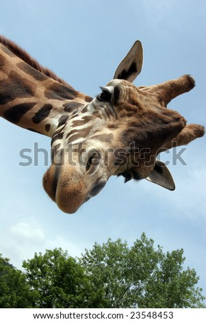 A giraffe that extension attention