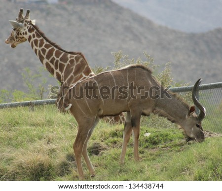 A Girafffe and greater Kudu seem to merge as one animal at a game park in the desert