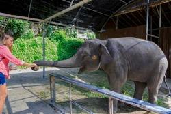 A girl feeds a little elephant in Thailand. Summer