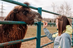 A girl feeds apples from a brown Bactrian camel. The animal is on the farm at the zoo. Camelus bactrianus, a large ungulate animal that lives in the steppes of Central Asia.