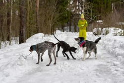 A girl in a yellow tracksuit walks three hunting dogs in a winter park