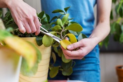 A girl is engaged in pruning house plants, a woman is cutting yellow leaves, a girl is caring for indoor plants, a home greenhouse, potted plant