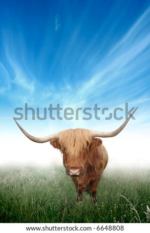 A glorious view of the Scottish Highland Cow emerging from the morning mist