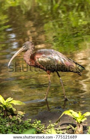 "A glossy ibis.  The glossy ibis is a wading bird in the ibis family Threskiornithidae. The scientific name derives from Ancient Greek  meaning ""sickle"", referring to the shckle shape bill. #775121689"