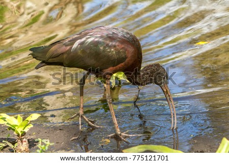 "A glossy ibis.  The glossy ibis is a wading bird in the ibis family Threskiornithidae. The scientific name derives from Ancient Greek  meaning ""sickle"", referring to the shckle shape bill. #775121701"