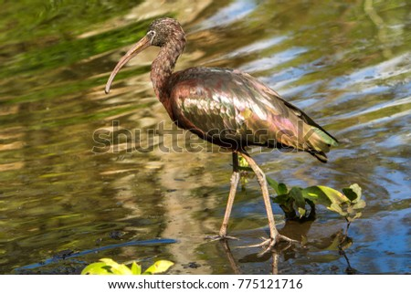 """A glossy ibis.  The glossy ibis is a wading bird in the ibis family Threskiornithidae. The scientific name derives from Ancient Greek  meaning """"sickle"""", referring to the shckle shape bill. #775121716"""