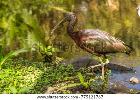 """A glossy ibis.  The glossy ibis is a wading bird in the ibis family Threskiornithidae. The scientific name derives from Ancient Greek  meaning """"sickle"""", referring to the shckle shape bill. #775121767"""