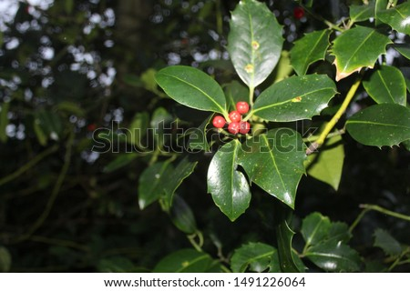 A glossy photo of some holly with holly berries.