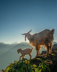 A goat and it's kid (A baby goat) in the mountain with morning sunlight and clouds in the sky