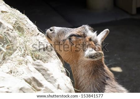 A goat Eating Grass