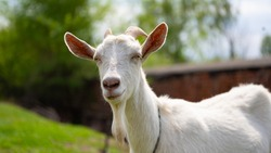 A goat grazes in the countryside. A tethered goat grazes on the lawn. A white goat was grazing in a meadow.