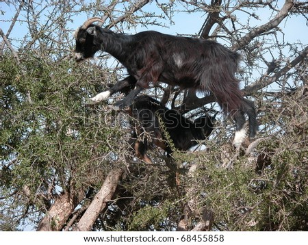 A goat in a Aganen tree, South Morocco