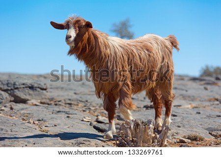 A Goat in Jebel Shams Mountains, Oman