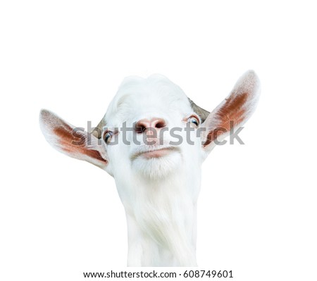A goat, isolated on white background