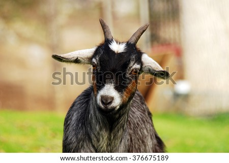 A goat looks at the camera from her pasture.