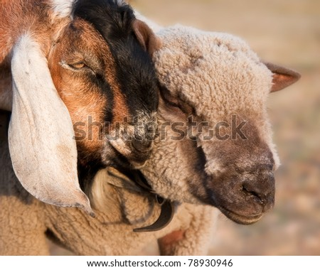 A goat showing affection to a sheep