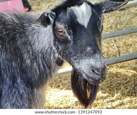 A goat. The goat is one of the first domesticated animals. Domesticated in the Middle East, about 9 thousand years ago. #1391247092