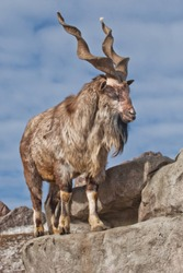 A goat with big horns (mountain goat marchur) stands alone on a rock, mountain landscape and blue sky. Allegory on the scapegoat.