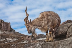 A goat with big horns (mountain goat marchur) stands alone on a rock, mountain landscape and sky. Allegory on the scapegoat.