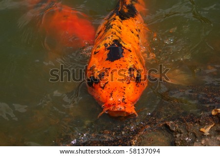 A gold and black koi fish with its mouth open and head out for Black and gold koi fish