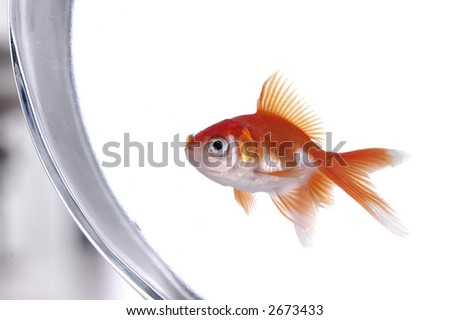 A gold and white goldfish peers out of its bowl.