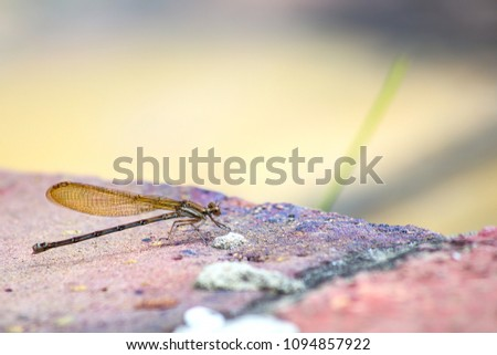 A golden damselfly sitting over a red brick. #1094857922