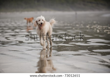 A Golden Doodle runs towards the camera on a wet sandy beach.
