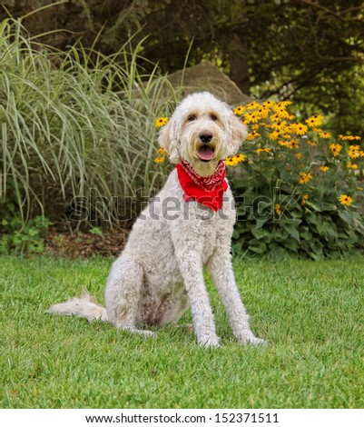 a golden doodle sitting in a park with green grass and bushes