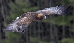 A Golden Eagle (Aquila chrysaetos) flying through the air.